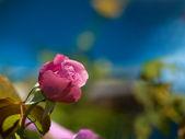 Krásné tmavě růžové růže tmavě modré pozadí — Stock fotografie