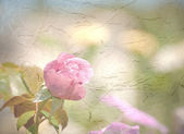 Light pink rose on antique texture background — Stock Photo