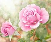 Dreamy image of a beautiful pink rose in the garden — Stock Photo
