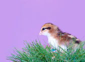 Cute brown striped Easter chick in grass — Stock Photo