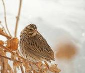Savanah Sparrow, Passerculus sandwichensis, perched on a dry flower stalk — Stock Photo