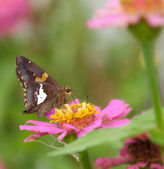 Silver-spotted Skipper butterfly feeding on pink Zinnia — Stock Photo