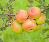 Apples growing in a tree — Stock Photo