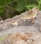 Six-lined Racerunner whiptail camouflaged on a tree stump — Zdjęcie stockowe
