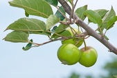 Young apples growing in a tree — Stock Photo