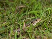 Yılan çim kaplı — Stok fotoğraf