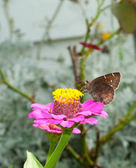 Cloudywing sul da borboleta, alimentando-se de rosa zínia — Foto Stock