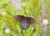 Black morph of an Eastern Tiger Swallowtail butterfly — Stok fotoğraf