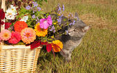 Blue tabby cat sniffing brilliantly colored flowers — Stock Photo