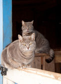 Two beautiful blue tabby cats resting at a barn door — Stock Photo