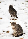 Deux bleu tabbies dans la neige sur une humidité froide journée d'hiver — Photo