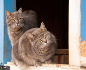 Two blue tabby cats on a half door of a blue barn — Stock Photo
