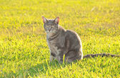 Pretty blue tabby kitty cat in green grass in bright afternoon sun — Stock Photo