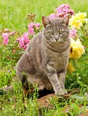 Beautiful blue tabby kitty cat against colorful flower background — Stock Photo