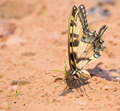 Eastern Tiger Swallowtail butterfly on a natural beach — Stock Photo