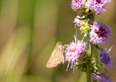 Tiny Skipper butterfly feeding on a delicate purple flower — Stock Photo
