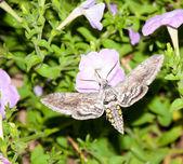 Papillon sphinx de la tomate, alimentation en vol — Photo