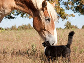 Small black and white cat rubbing himself against a huge Belgian Draft horse — Stock Photo