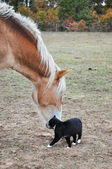 Black and white cat rubbing himself against a big horse's muzzle — Stok fotoğraf