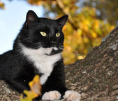 Handsome tuxedo cat with striking eyes surveying world from his tree — Stock Photo