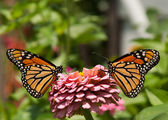 Two gorgeous, colorful Monarch butterflies on a pink Zinnia — Stock Photo