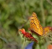 Mariposa fritillary abigarrado alimentándose de una flor de manta — Foto de Stock