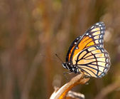 Viceroy butterfly perched on an autumn leaf — Stock Photo