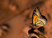 Colorful Viceroy butterfly resting against muted color fall background — Stock Photo