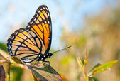 Bright orange and black Viceroy butterfly — Stock Photo