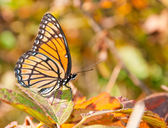 Colorful Limenitis Archippus, Viceroy butterfly resting on an autumn Blackberry leaf — Foto Stock