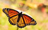 Limenitis archippus, viceroy butterfly, feeding on a flower — Stock Photo