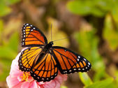 Dreamy image of a Viceroy butterfly in a garden — Stock fotografie
