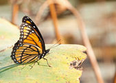 Brightly colored Viceroy butterfly — Stock Photo