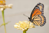 Colorful Viceroy butterfly feeding on a pale yellow Zinnia — Stock Photo