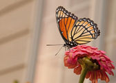 Beautiful Viceroy butterfly feeding on a pink Zinnia — Stock Photo