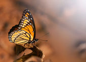 Beautiful Viceroy buterfly percehd on a dry leaf — Stock Photo