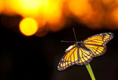 Brilliant Viceroy butterfly resting on a flower against colorful sunset — Stock Photo