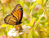 Viceroy butterfly feeding on a white Zinnia against bright green background — Stock Photo