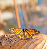 Viceroy butterfly resting on a dead and dry Waterlily leaf — Stock Photo