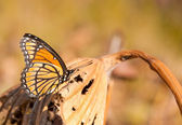Brilliant orange black and white Viceroy butterfly resting — Stock fotografie