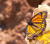 Brilliant Viceroy butterfly resting in late autumn sunshine — Foto Stock