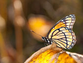 Beautiful Viceroy butterfly resting on a yellow fall leaf — Stock Photo
