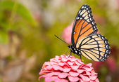Ventral view of a colorful Viceroy butterfly feeding on a pink Zinnia — Stok fotoğraf