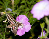White-Lined Sphinx Moth feeding on a Petunia flower — Stock Photo