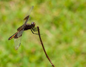 Widow dragonfly perched on a twig against green — Stock Photo