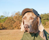 Comical image of a Weimaraner dog wearing a sheriff's cap — Stock Photo