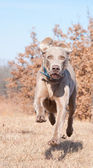 Weimaraner dog running at full speed towards the camera — Stock Photo