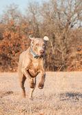 Weimaraner dog running towards viewer in frosty winter grass — Stockfoto