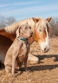 Weimaraner dog sitting next to his resting friend, a Belgian Draft horse — Stock Photo