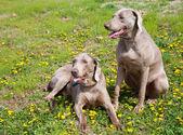 Two beautiful Weimaraner dogs — Stock Photo